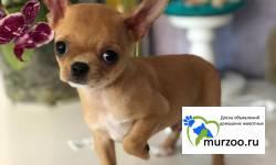 Щенок чихуахуа,мальчик от Ирлайн-дог