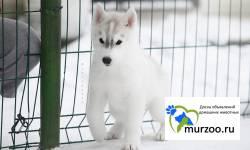 Очаровательный щенок  хаски от титулованных родителей