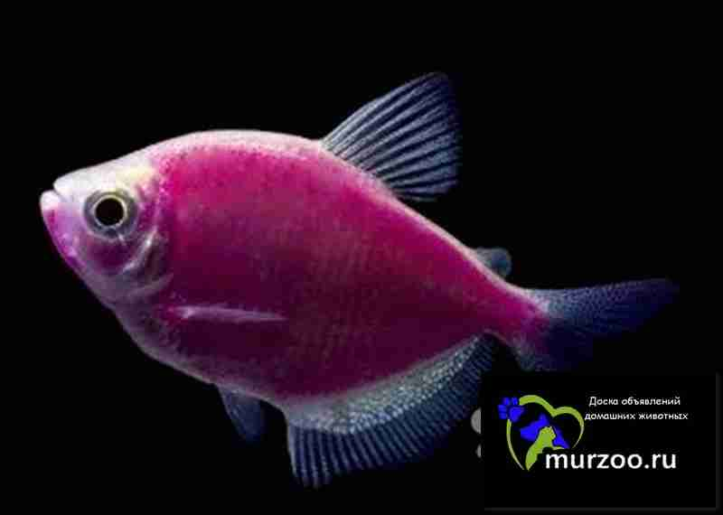 Sunburst Orange Danio GloFish
