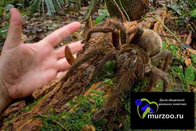 Theraphosa blondi Паук Голиаф
