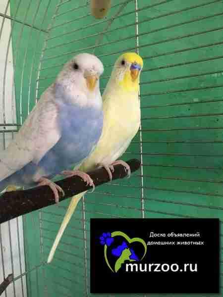 Волнистые попугаи с доставкой